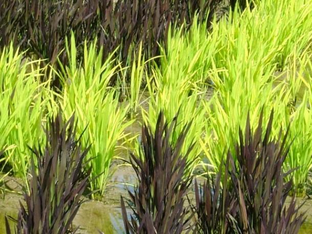japan art rice field farm (3)