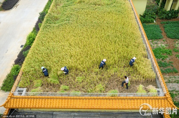 chinese-rice-field-factory-1