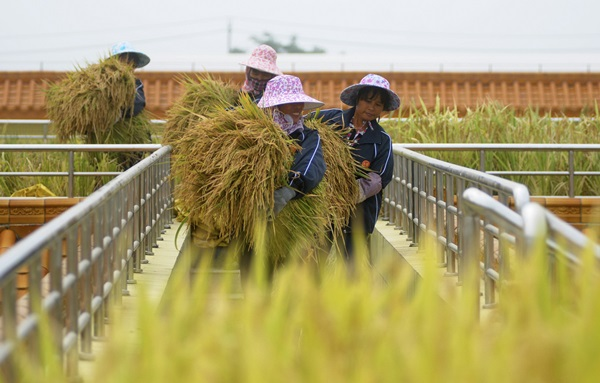 Labourers carry rice reaped from a paddy field on top of a wine factory