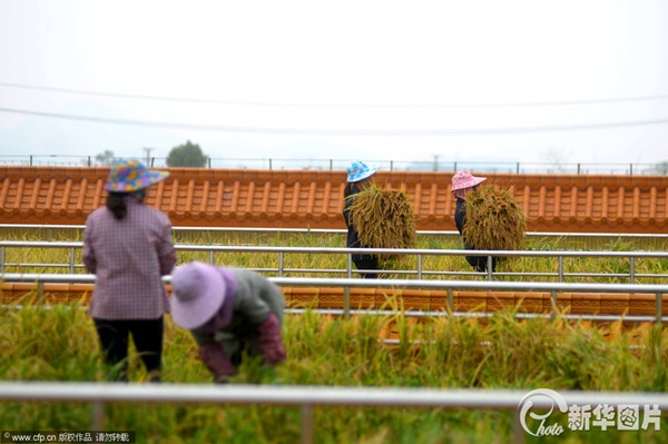 chinese-rice-field-factory-3