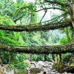 ภูมิปัญญาชาวบ้านอินเดีย 'สะพานรากไม้' ใช้รากต้นไม้เชื่อมต่อสองฝั่งแม่น้ำ รับน้ำหนักได้ 50 คน!!
