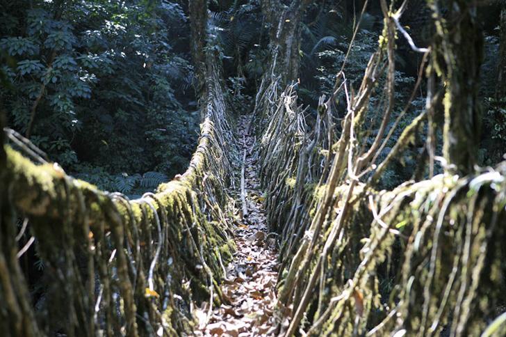 indian root bridge (4)