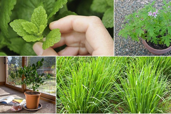 10-mosquito-repellent-plants-for-home (1)
