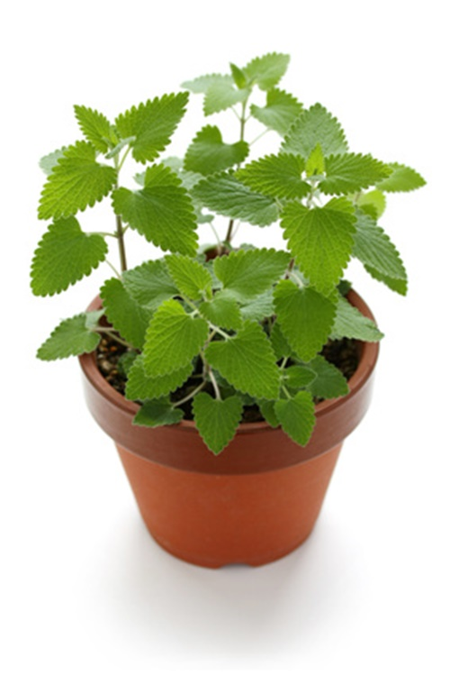 Catnip in a pot