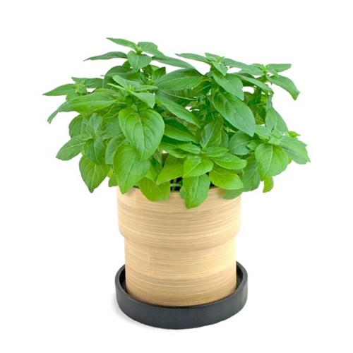 10-mosquito-repellent-plants-for-home (4)