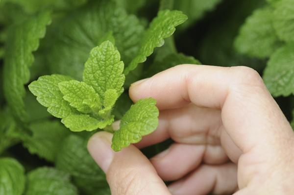 10-mosquito-repellent-plants-for-home (5)