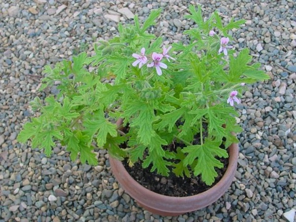 10-mosquito-repellent-plants-for-home (7)