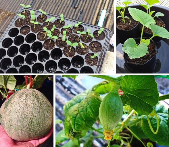 growing melon in apartment (1)