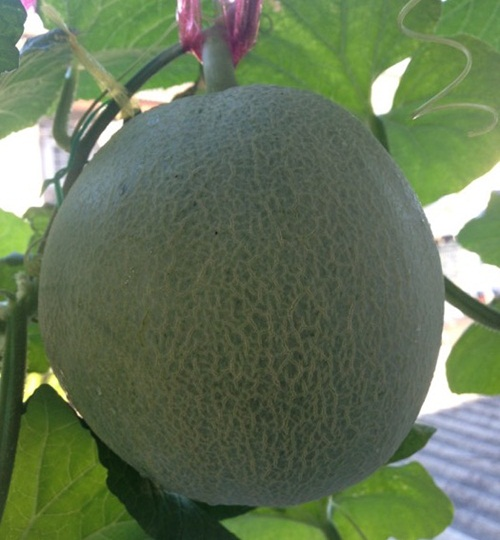growing-melon-in-apartmentt (1)