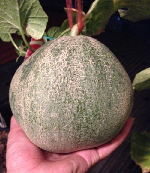 growing-melon-in-apartmentt (2)