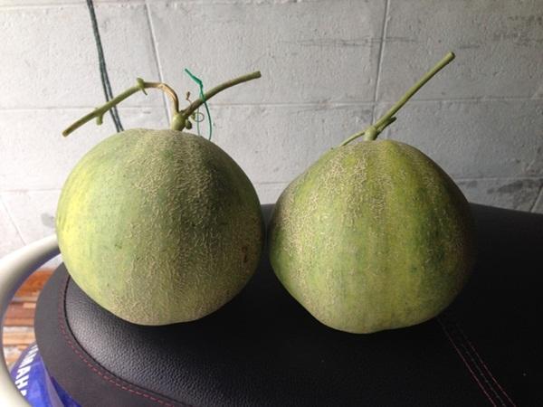 growing-melon-in-apartmentt (4)