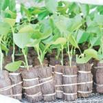 สุดยอดภูมิปัญญาไทย!! วิธีขยายพันธุ์มะนาวด้วยใบ ใช้ต้นพันธุ์เพียง 1 ต้น ขยายได้เป็นพันกิ่ง