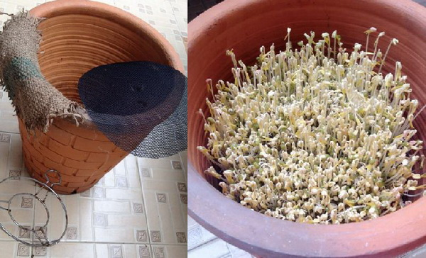 how to grow bean sprouts in clay pot (1)