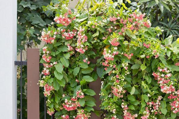 10 pergola plants (10)
