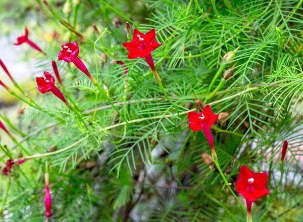 10 pergola plants (2)