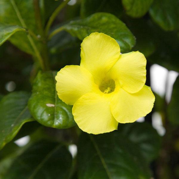 10 pergola plants (3)