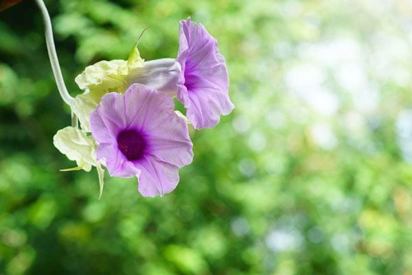 10 pergola plants (5)