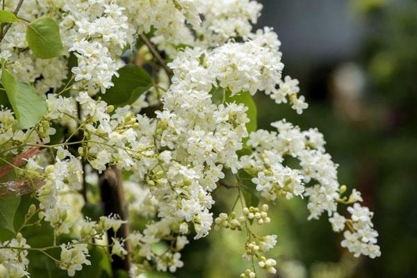 10 pergola plants (6)