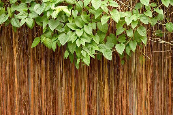 10 pergola plants (7)