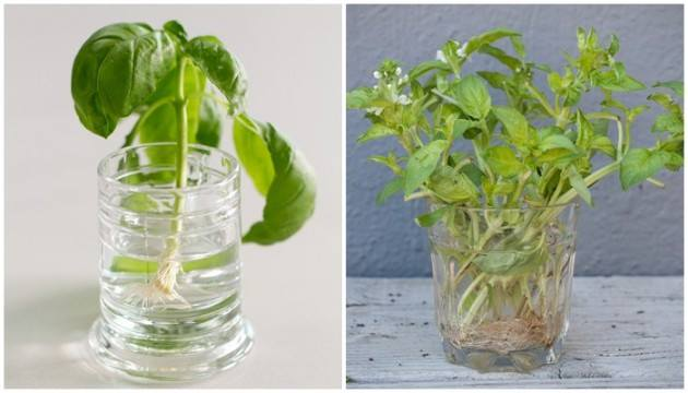 24 vegetables that can be revived (11)