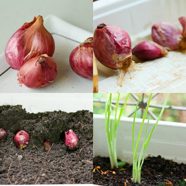 24 vegetables that can be revived (23)