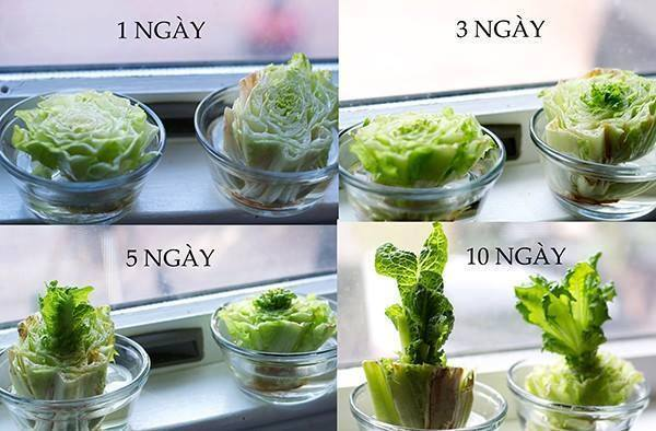 24 vegetables that can be revived (5)