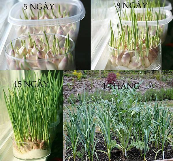 24 vegetables that can be revived (6)