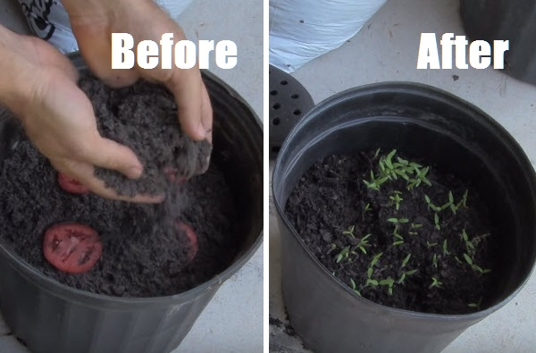 easiest-way-to-grow-tomato-seedlings-cover