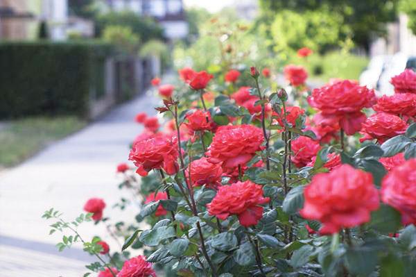 10-outdoor-flowers-for-gardening-3