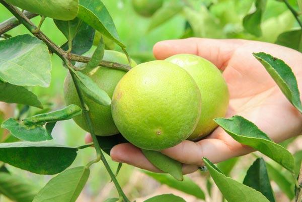 9 ways to grow lime (1)