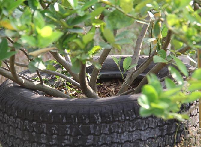 9 ways to grow lime (2)