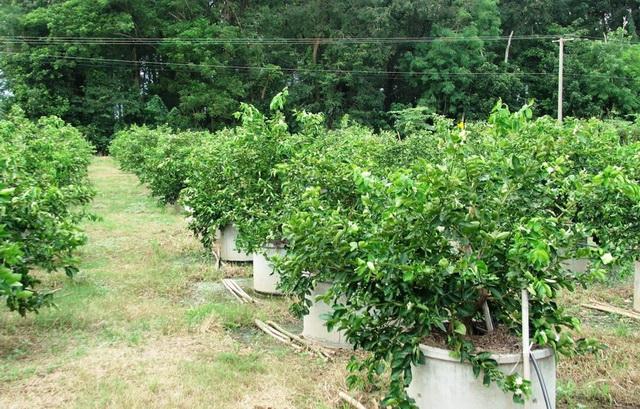 9 ways to grow lime (5)