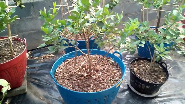 9 ways to grow lime (6)