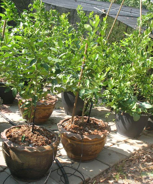 9 ways to grow lime (8)