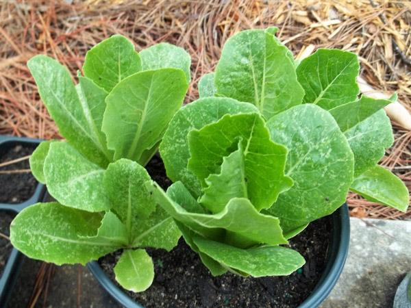 7-salad-vegs-that-we-can-grow-in-garden-1