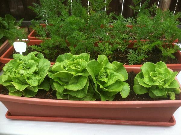 7-salad-vegs-that-we-can-grow-in-garden-2
