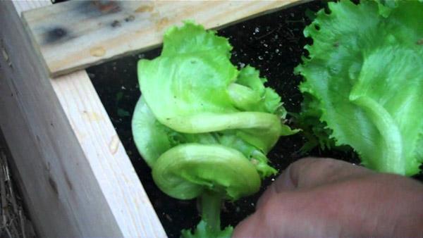 7-salad-vegs-that-we-can-grow-in-garden-3