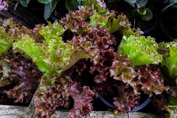 7-salad-vegs-that-we-can-grow-in-garden-4