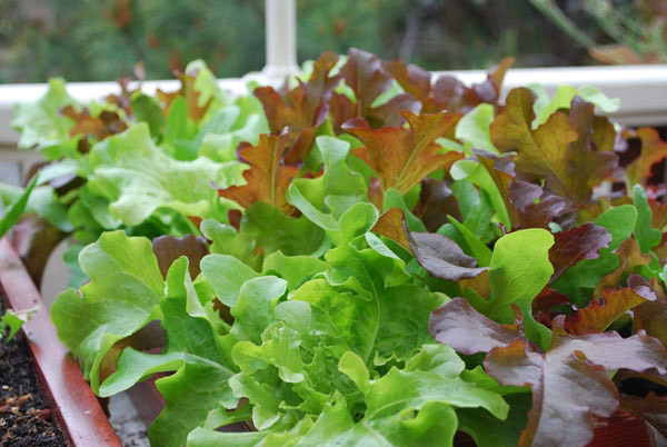 7-salad-vegs-that-we-can-grow-in-garden-7