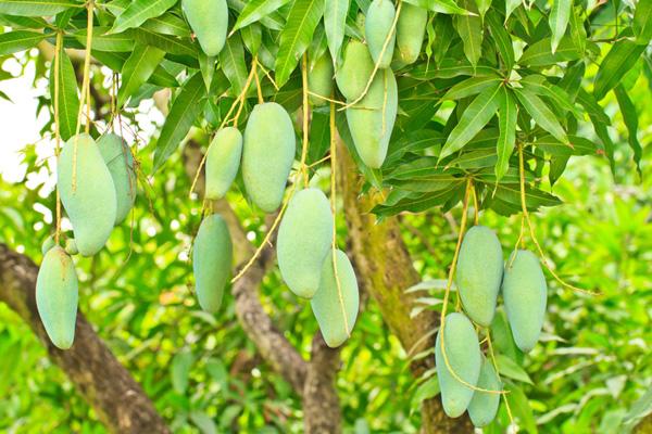 9-blessing-fruit-trees-for-garden-2
