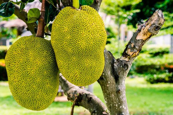 9-blessing-fruit-trees-for-garden-5