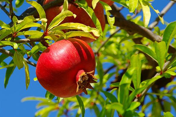 9-blessing-fruit-trees-for-garden-7