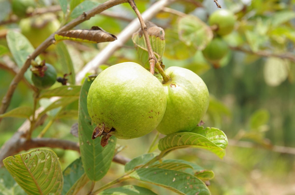 9-blessing-fruit-trees-for-garden-8