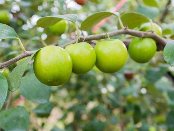 9-blessing-fruit-trees-for-garden-9