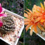 """สวยมาก…อยากได้!! พาชมสีสันแห่งความสุข """"โลบีเวีย"""" แคคตัสเลี้ยงง่าย ออกดอกสวยสะพรั่งตลอดปี"""