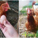 """เปิดฟาร์มออแกนิก """"รีวิวการเลี้ยงไก่ เป็ด ห่านไว้กินไข่"""" ในสวนหลังบ้าน"""