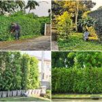 """4 ไอเดีย """"ปลูกรั้วต้นไม้"""" แนวทางทำรั้วกั้นอาณาเขตบ้านสำหรับคนรักธรรมชาติ"""